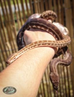 Ekans and Arboc the Stimpson's Pythons