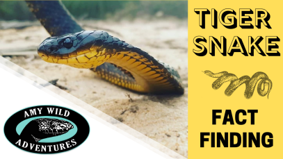 Tiger Snake Fact Finding(1)